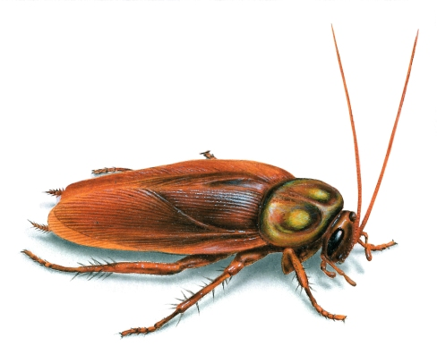american-cockroach-illustration_1376x1147.jpg